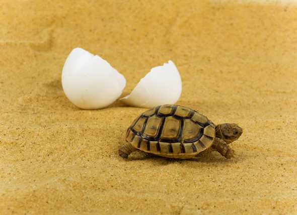 baby-turtle-hatched-egg_83588377_0.jpg
